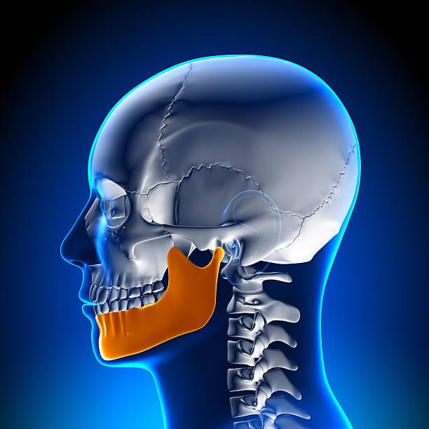 cerebro anatomía de mandíbula - mandibula fotografías e imágenes de stock