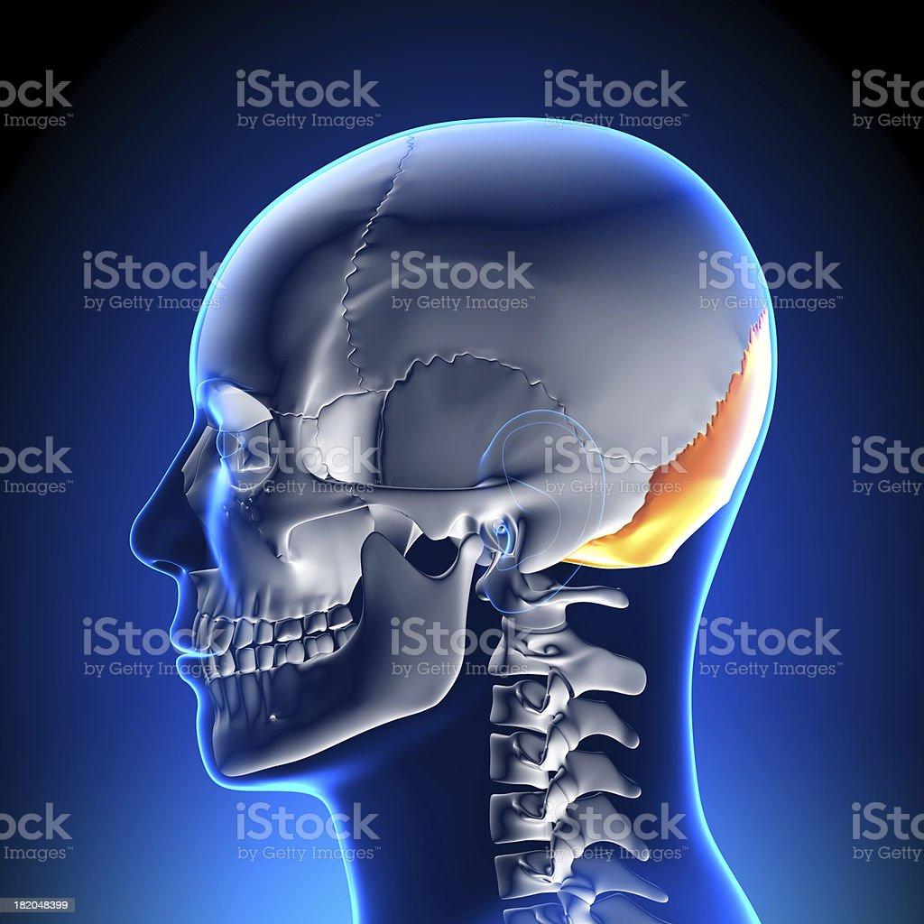 Brain Anatomy - Occipital Bone stock photo