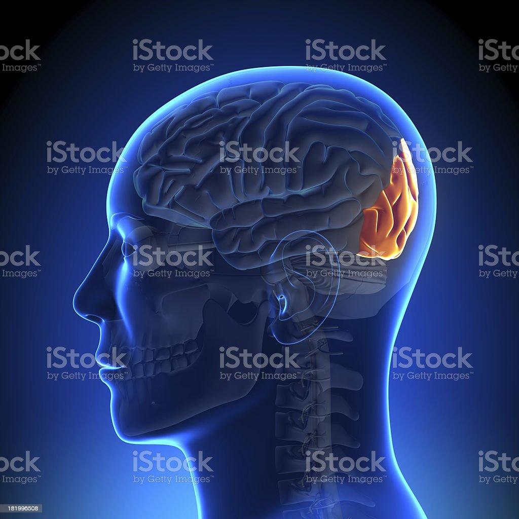 Fotografía de Cerebro Anatomíalóbulo Occipital y más banco de ...
