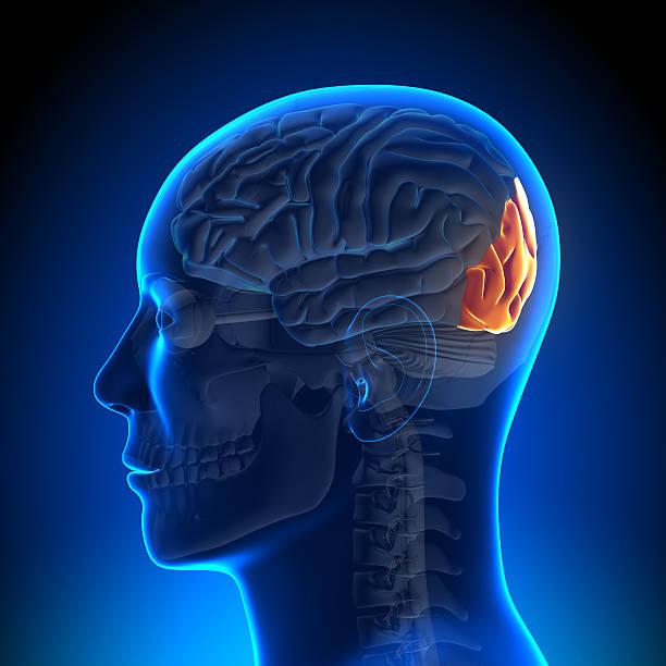 Brain Anatomy - Occipital lobe Brain Anatomy - Occipital lobe occipital lobe stock pictures, royalty-free photos & images