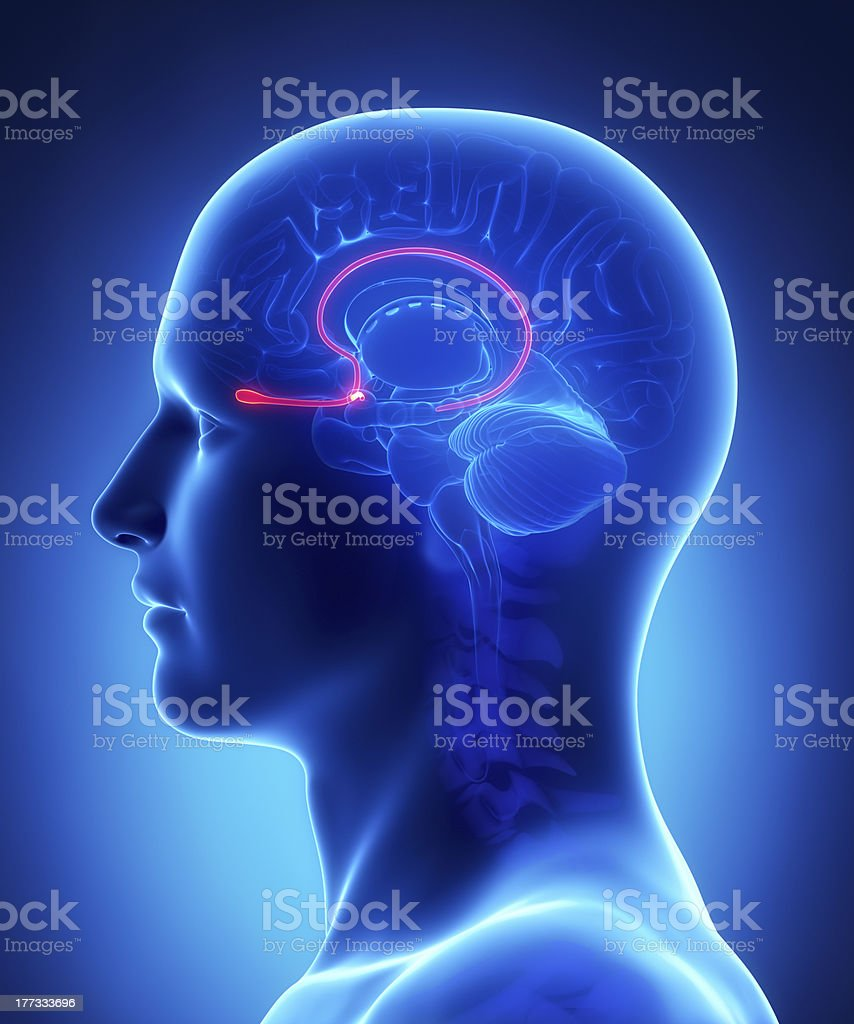 Brain anatomy OLFACTORY BULB - cross section stock photo