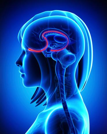Brain Anatomy Olfactory Bulb Cross Section Stock Photo ...