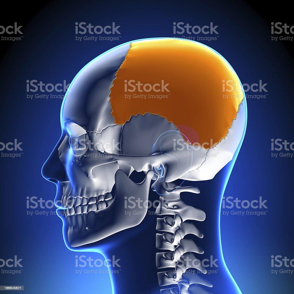 Fotografía de Cerebro Anatomíalóbulo Parietal y más banco de ...