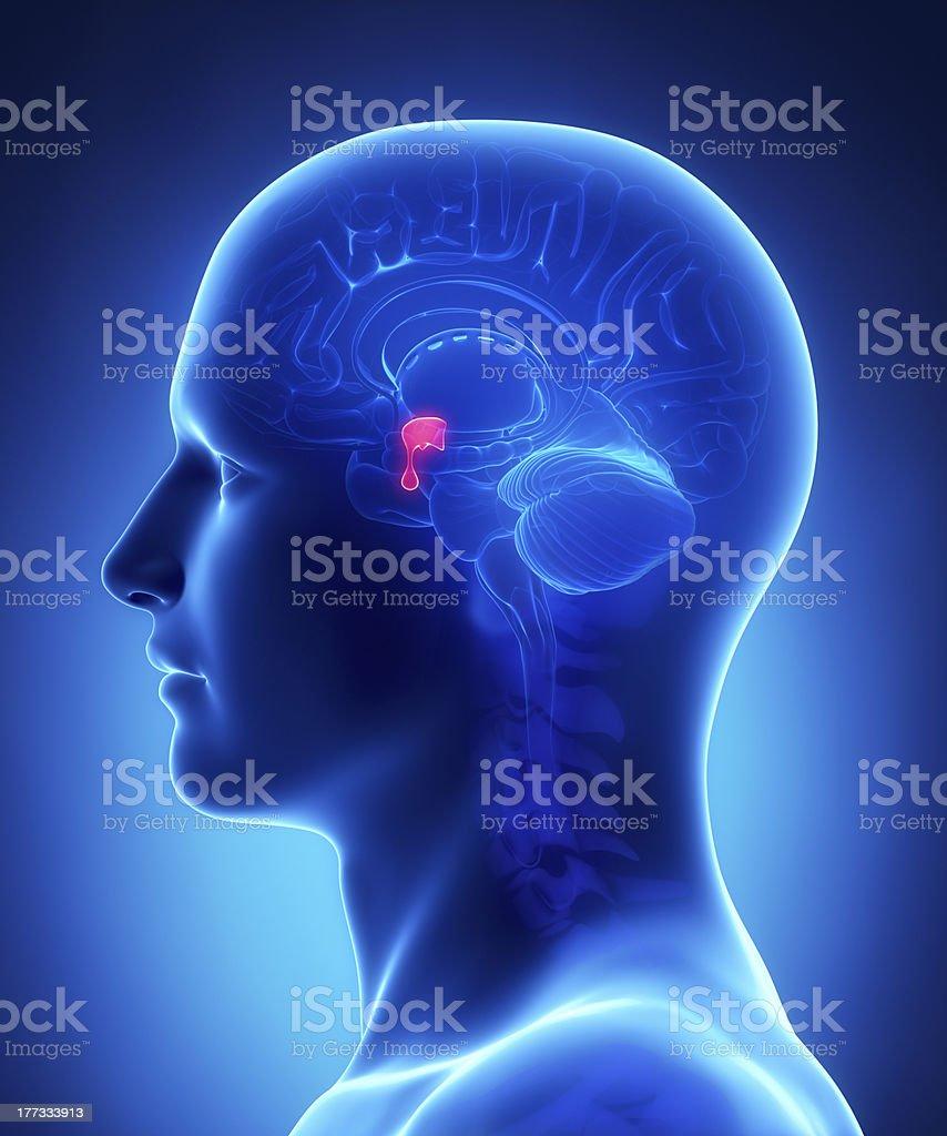 Brain anatomy  PITUITARY GLAND - cross section royalty-free stock photo