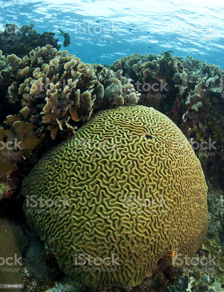 brain and lettuce coral stock photo