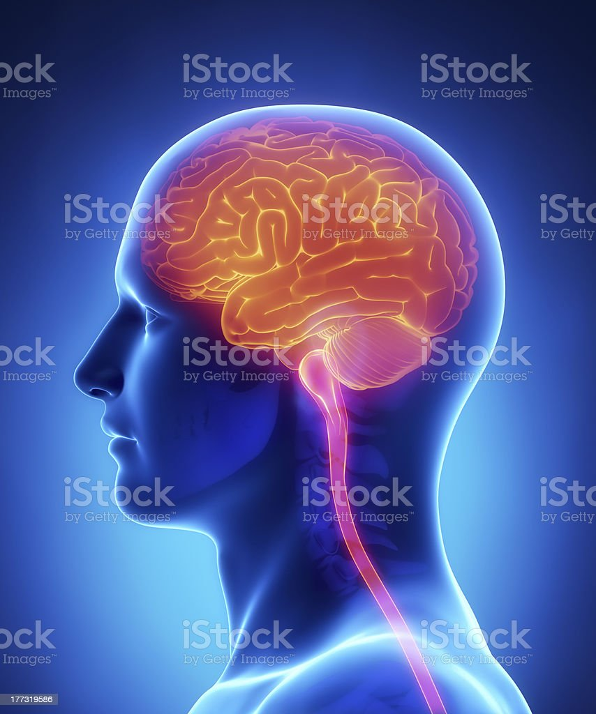 Brain And Spinal Cord Anatomy Cross Section stock photo | iStock