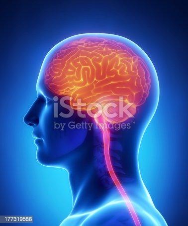 Gehirn Und Die Wirbelsäule Anatomiequerschnitt Stock-Fotografie und ...