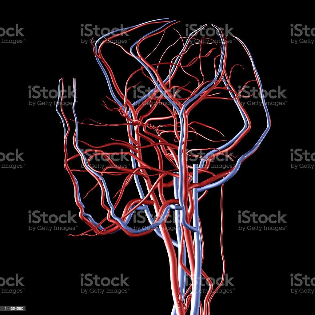Fotografía de Las Venas Y Arterias Del Cerebro Xxl y más banco de ...
