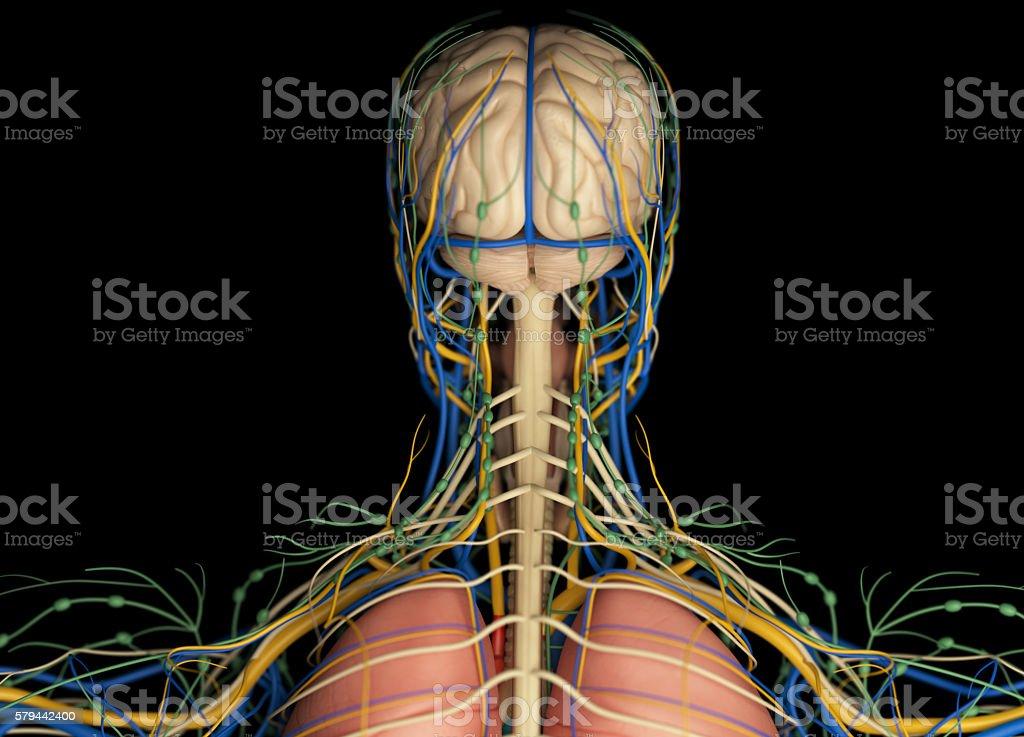 Brain Arteries Nerves Lymph Nodes Human Anatomy Stock Photo More