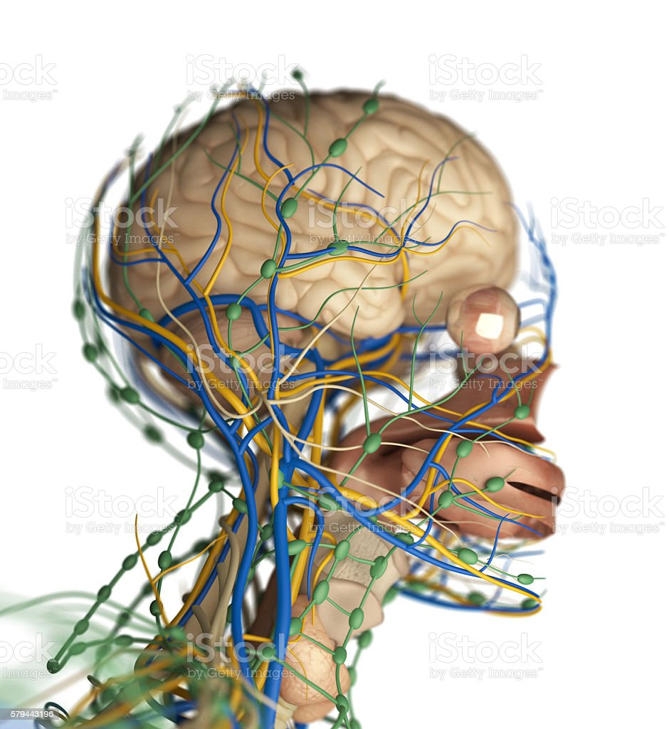 Brain Arteries Nerves Lymph Nodes Human Anatomy Stock Photo Istock