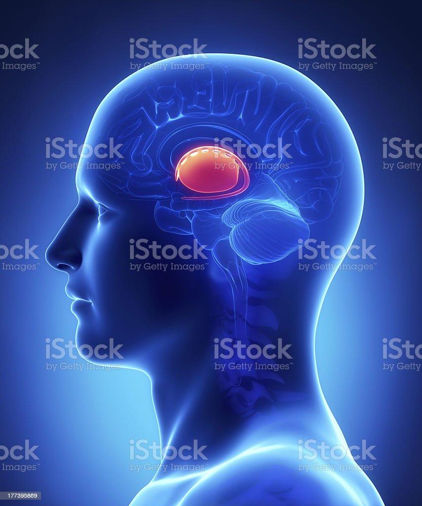 Brain  BASAL GANGLIA anatomy - cross section stock photo
