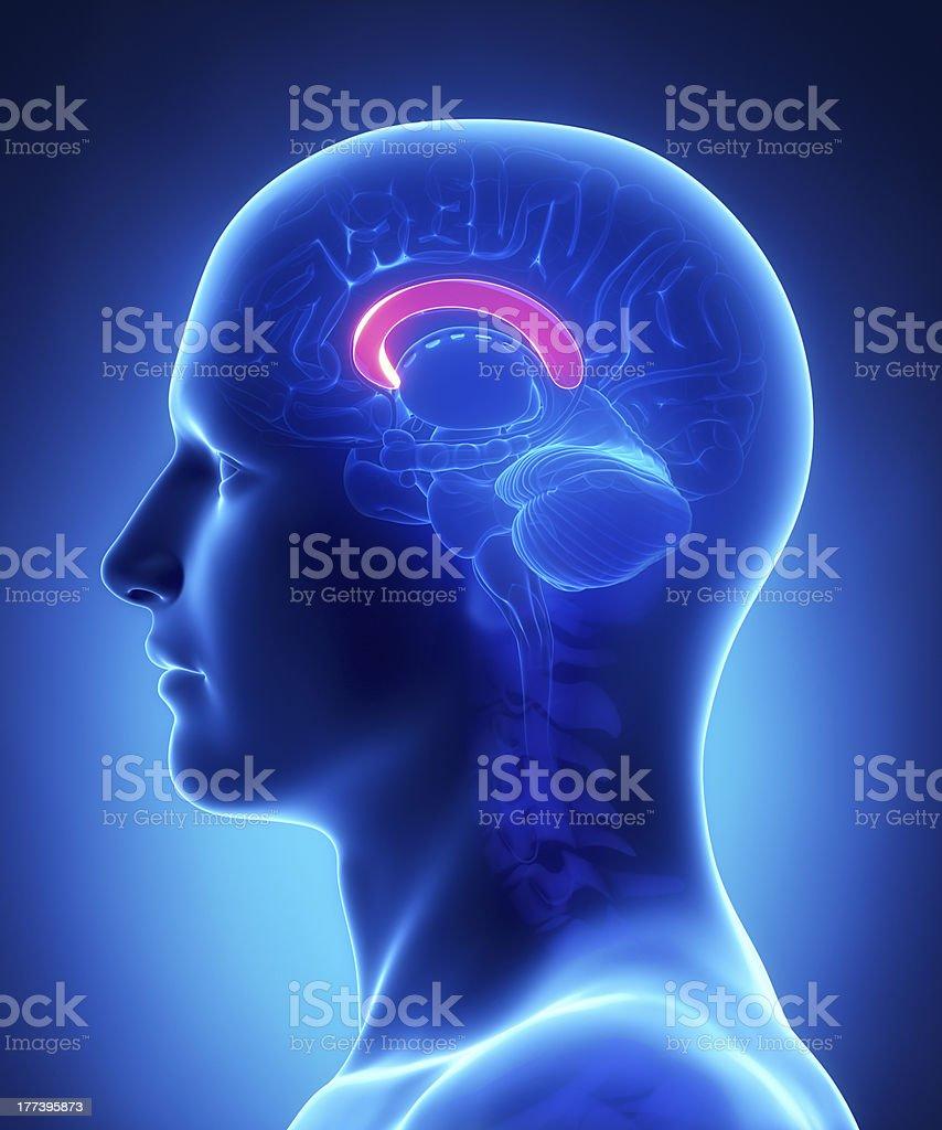 Corpus Callosum Gehirn Anatomiequerschnitt Stock-Fotografie und mehr ...