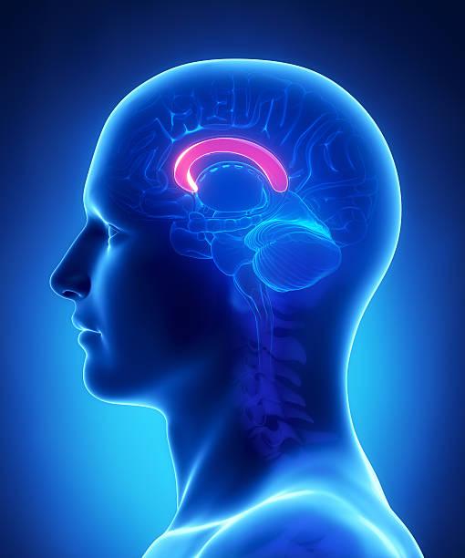 Brain  CALLOSUM CORPUS anatomy - cross section  corpus callosum stock pictures, royalty-free photos & images