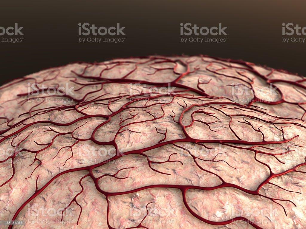 brain, Capillary stock photo