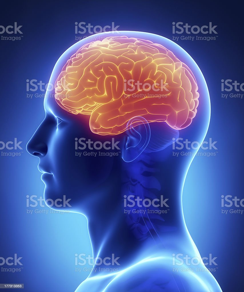 Brain CEREBRUM anatomy - Royalty-free Anatomy Stock Photo