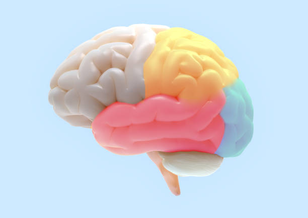 Brain color subdivisions illustration 3D brain rendering with subdivisions color parts isolated on white background in soft lighting included clipping path for use in any backdrop occipital lobe stock pictures, royalty-free photos & images