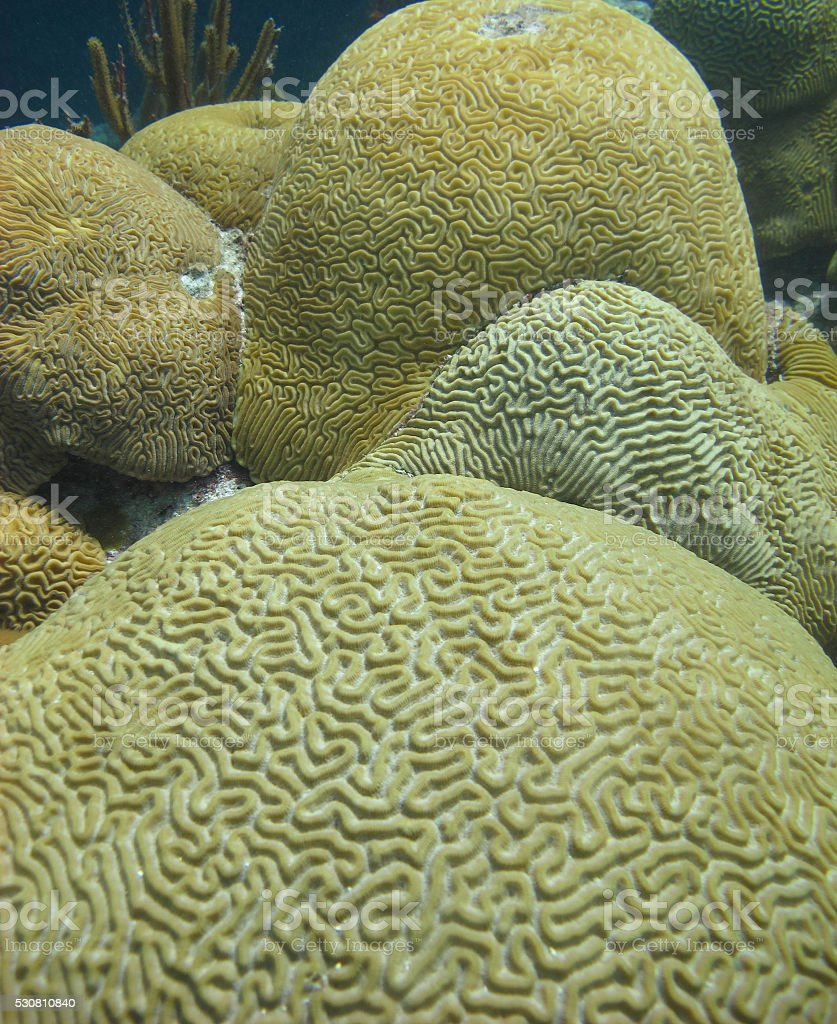 Brain Coral, Bermuda stock photo