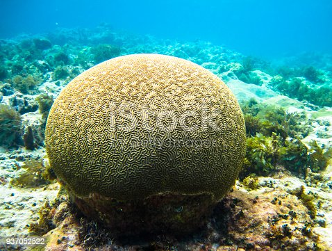 A large piece of brain coral (family Mussidae or Merulinidae) in the Caribbean Sea. Corn Islands, Nicaragua.