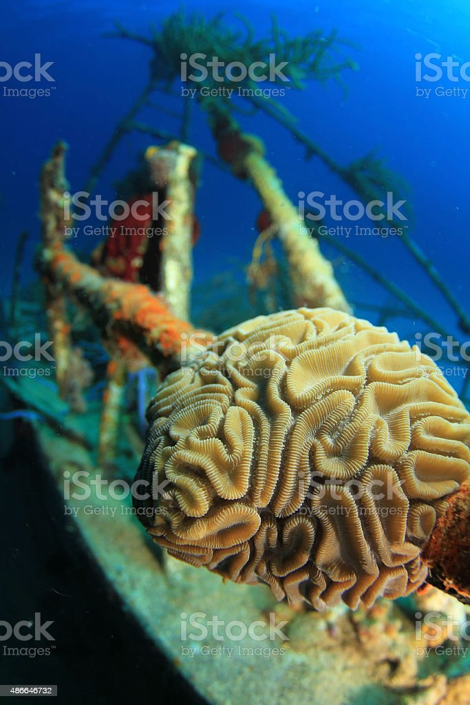 Brain Coral on a wreck stock photo
