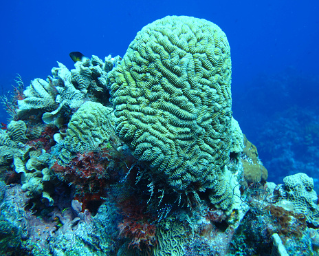 Brain Coral, Palancar Reef