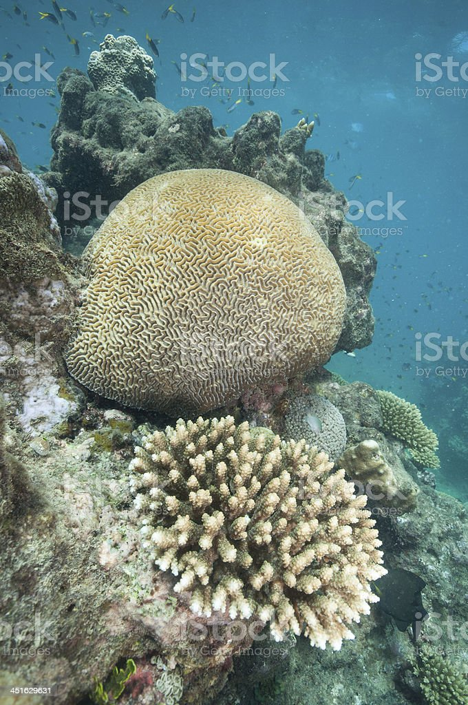 Brain coral stock photo