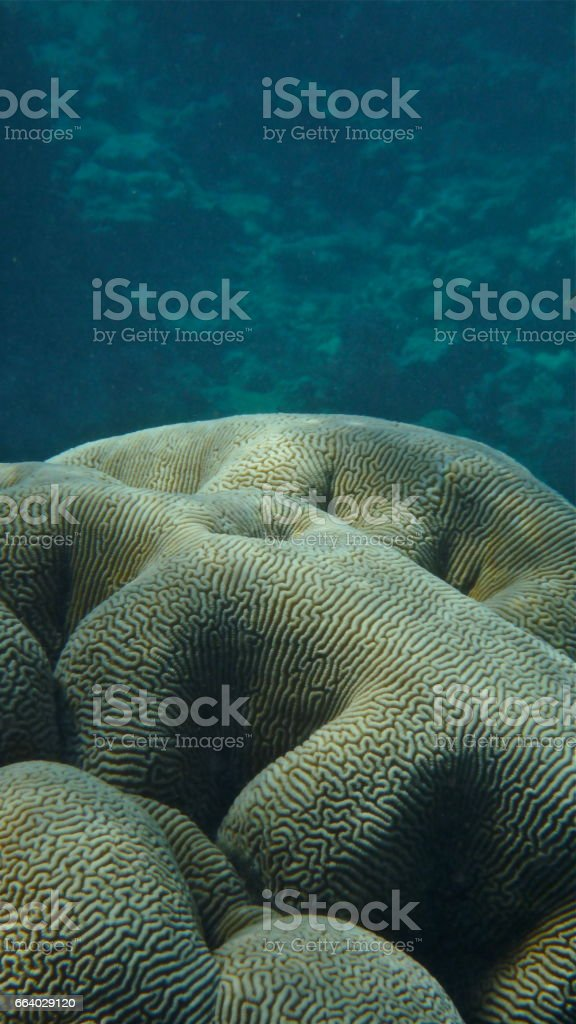 Brain coral (Mussidae) stock photo