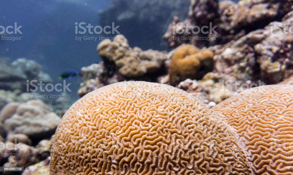 Brain Coral (Platygyra daedalea) Reef Pattern, Andaman Sea, Krabi, Thailand. stock photo