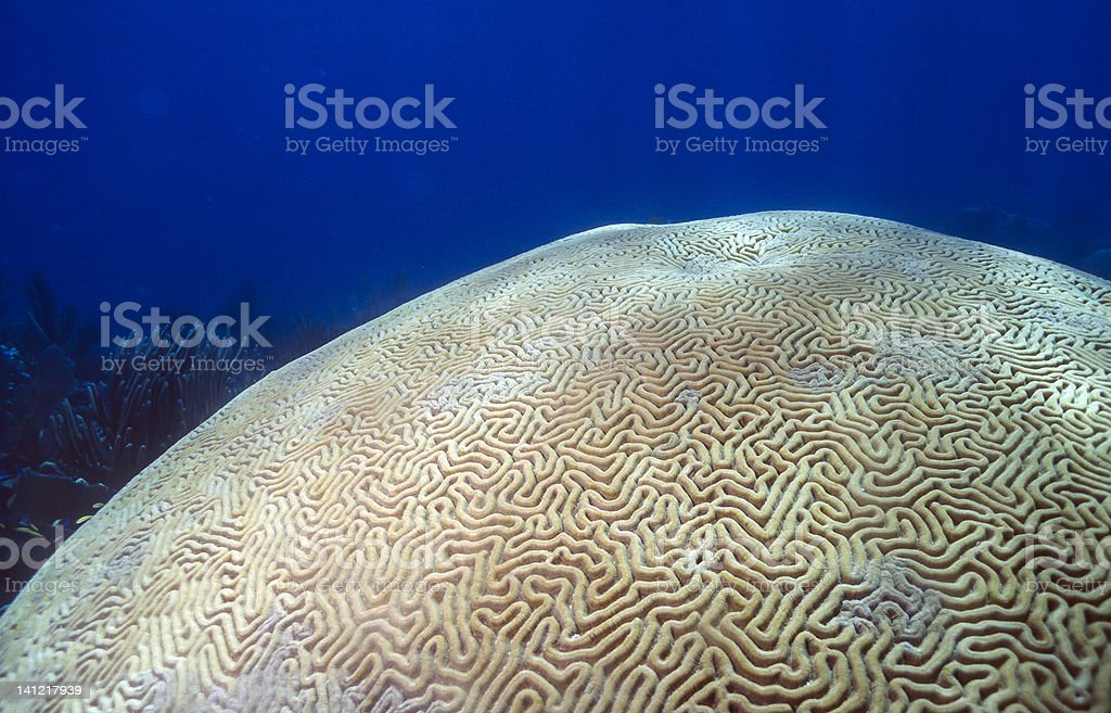 Brain coral Scleractinia stock photo