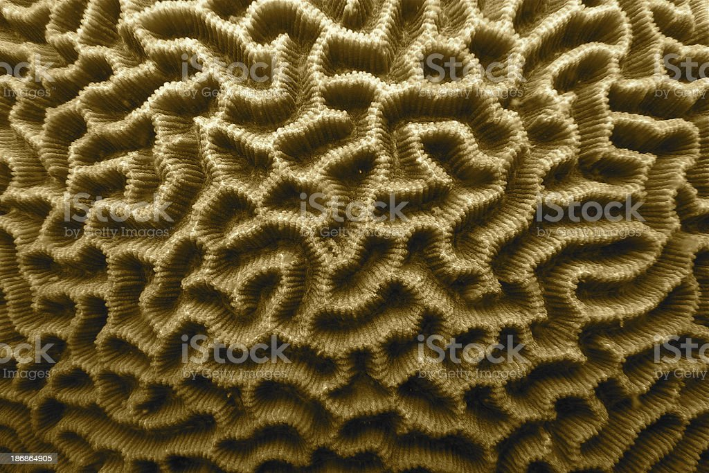 Brain coral surface stock photo