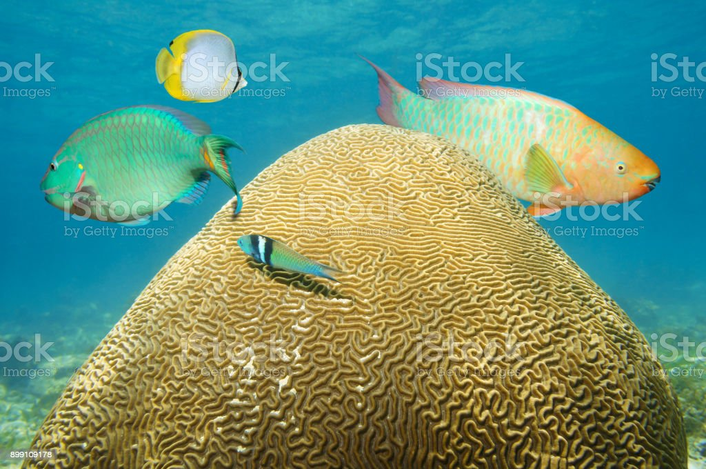 Brain coral underwater with colorful fish stock photo