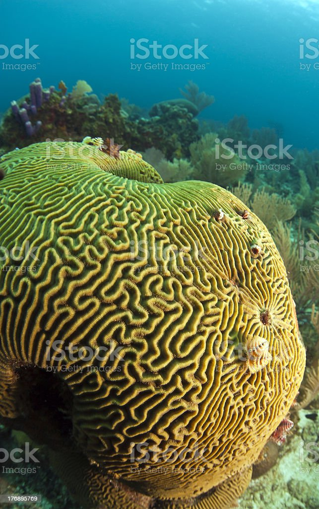 Brain coral with Christmas tree worm stock photo