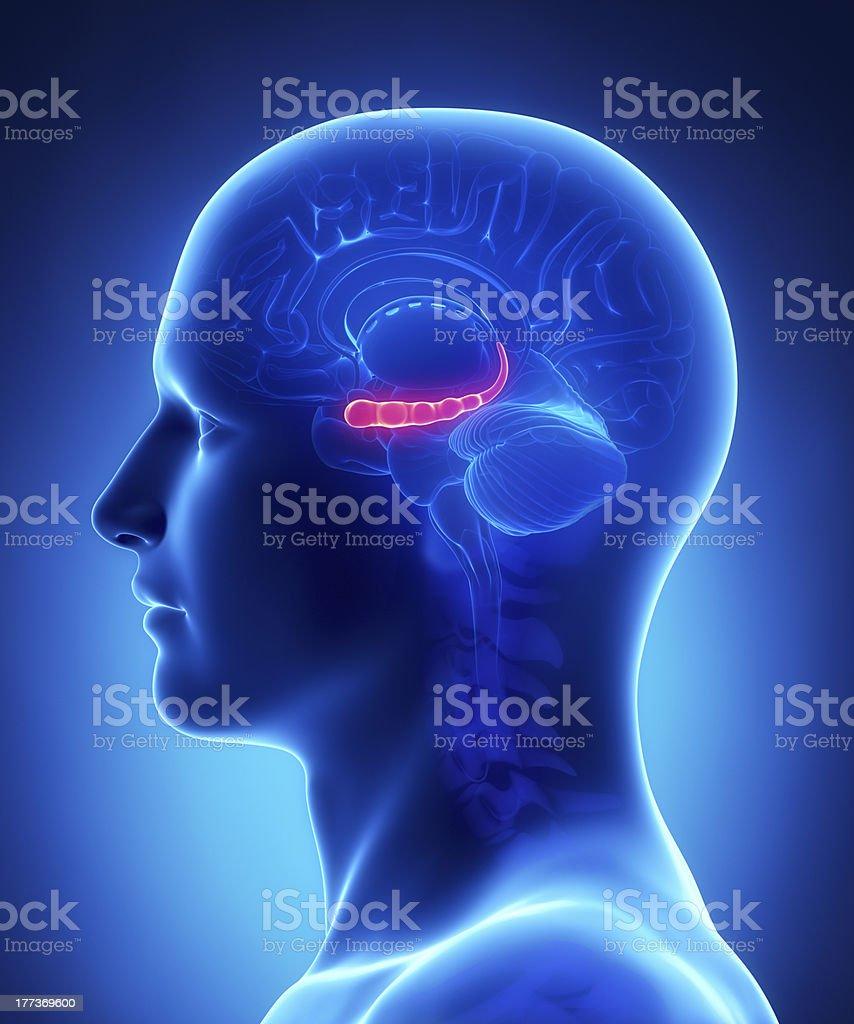Gehirn Anatomiequerschnitt Hyppocampus Stock-Fotografie und mehr ...