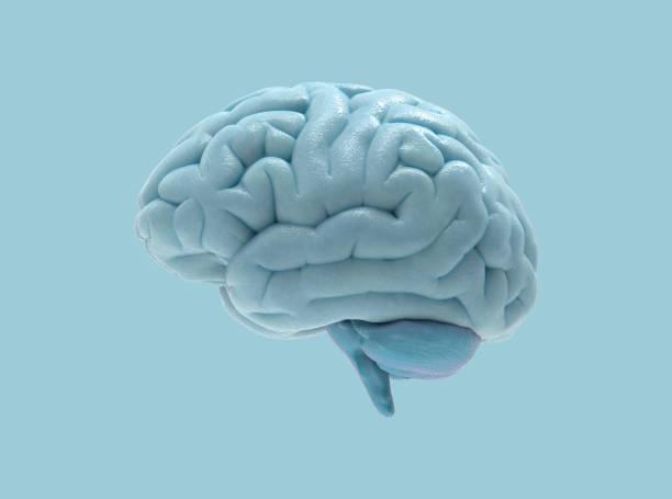ilustração 3d cérebro isolada na bg azul - brain - fotografias e filmes do acervo