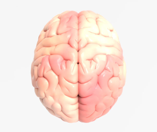 3D brain illustration rendering in top view 3D brain photo realistic rendering in top view isolated on white background with clipping path for use in any backdrop cerebellum stock pictures, royalty-free photos & images