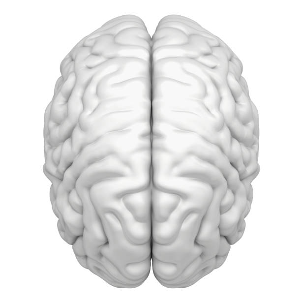 Brain is a close-up isolated on white background stock photo