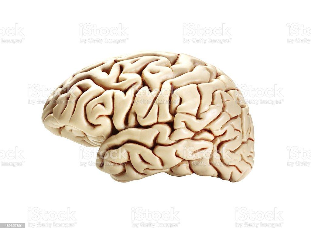 brain isolated on white stock photo