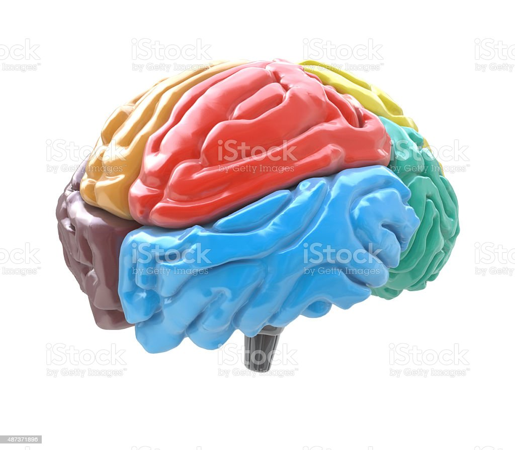 Brain lobes in different colors isolated on white background stock photo