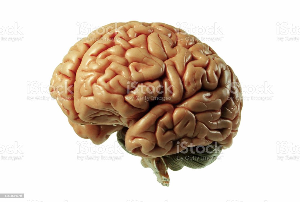 Brain Model 01 stock photo