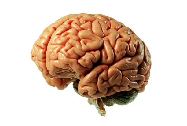 Brain Model 01 stock photo