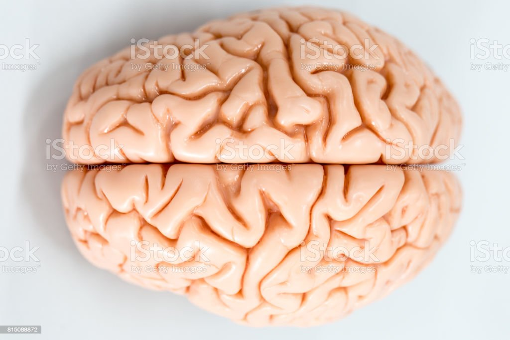 Brain model for education in laboratory. stock photo