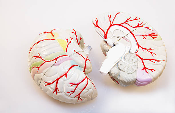 Brain Model In Two Sections With Arteries Prominent 2 halves of a brain model - lateral and medial parts visible auditory cortex stock pictures, royalty-free photos & images