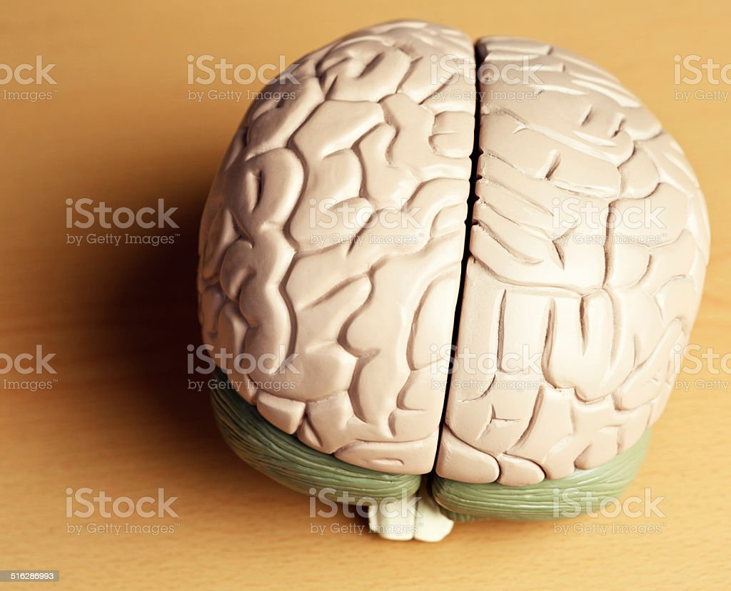 Brain On Brown Overhead View Of Anatomical Model Against Wood Stock ...