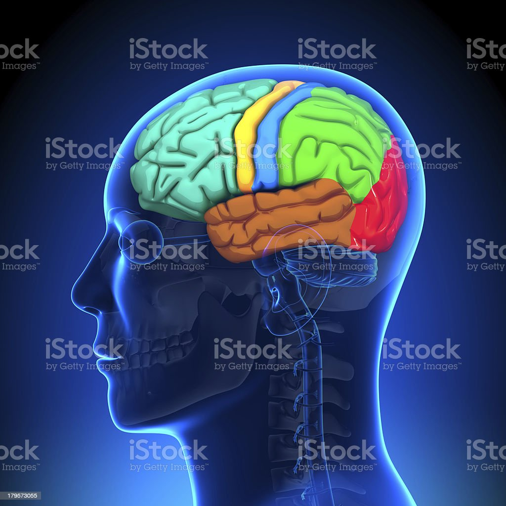 Brain Parts Anatomy - Color stock photo