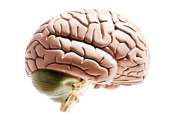 Brain  cerebellum stock pictures, royalty-free photos & images