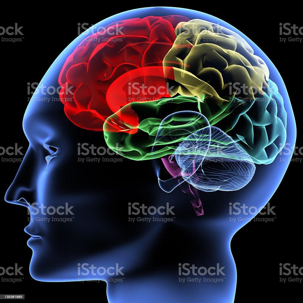 Brain stock photo