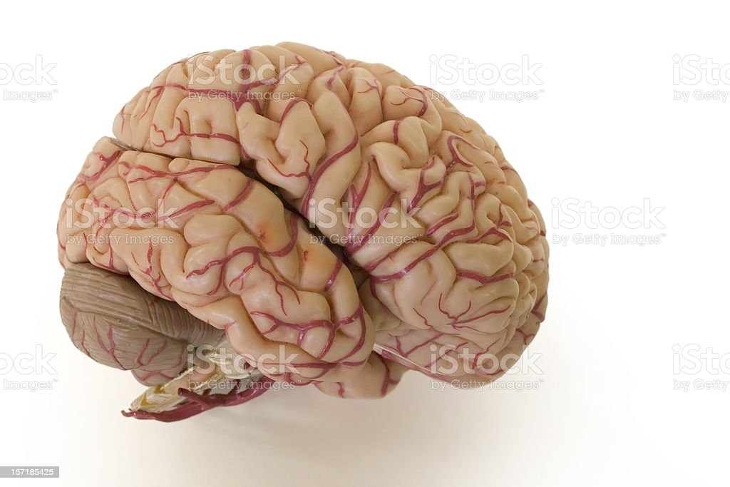 Brain royalty-free stock photo