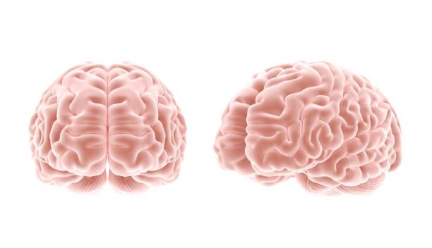 cérebro - brain - fotografias e filmes do acervo