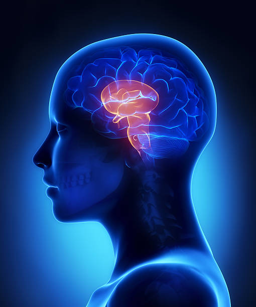 Brain stem - female head anatomy lateral view stock photo