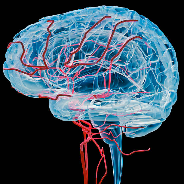 Brain with bloodvessels x-ray (Side) Digital medical illustration: Lateral (side) x-ray view (orthogonal) of human brain with blood vessels. cerebellum stock pictures, royalty-free photos & images