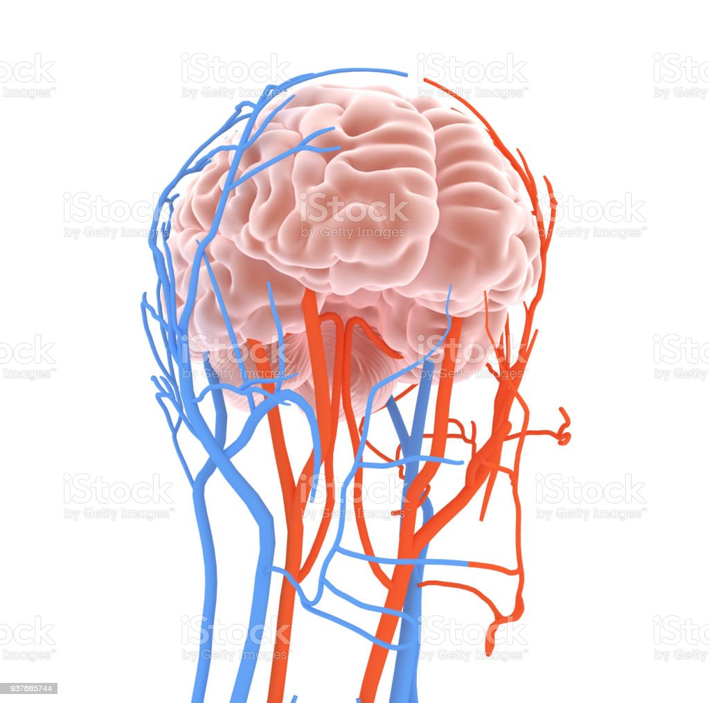 Brain With Circulatory System Stock Photo More Pictures Of Anatomy